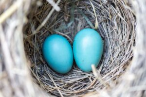 Bird's nest with two blue eggs